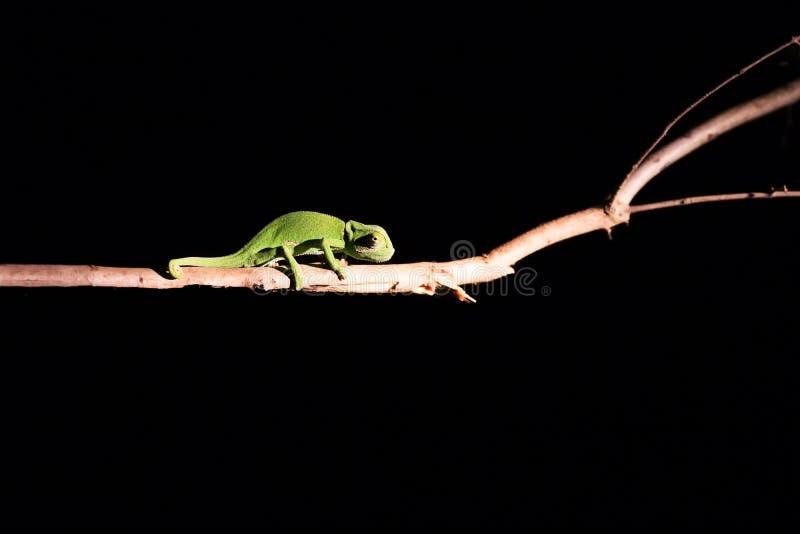 平衡在一根棍子的变色蜥蜴在黑暗中在有选择性的照明设备 免版税库存照片