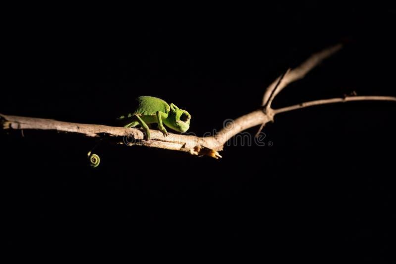 平衡在一根棍子的变色蜥蜴在黑暗中在有选择性的照明设备 库存图片