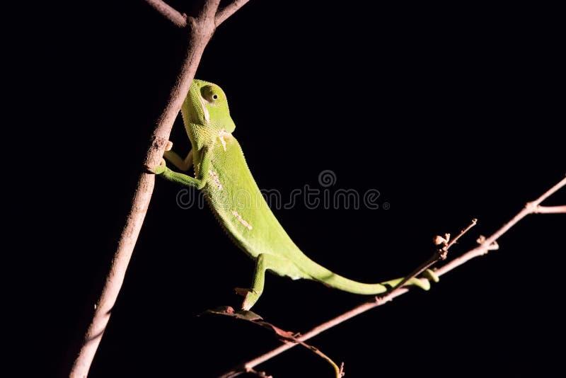 平衡在一根棍子的变色蜥蜴在黑暗中在有选择性的照明设备 免版税库存图片