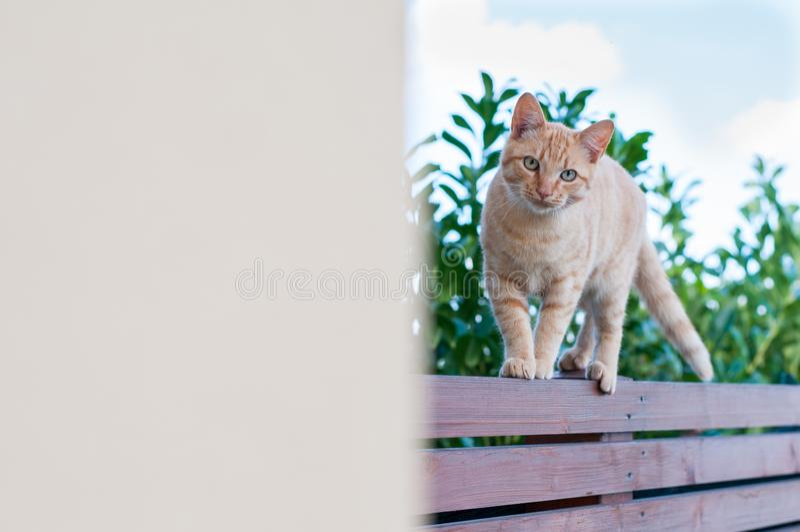 平衡在木篱芭的红发猫 库存图片