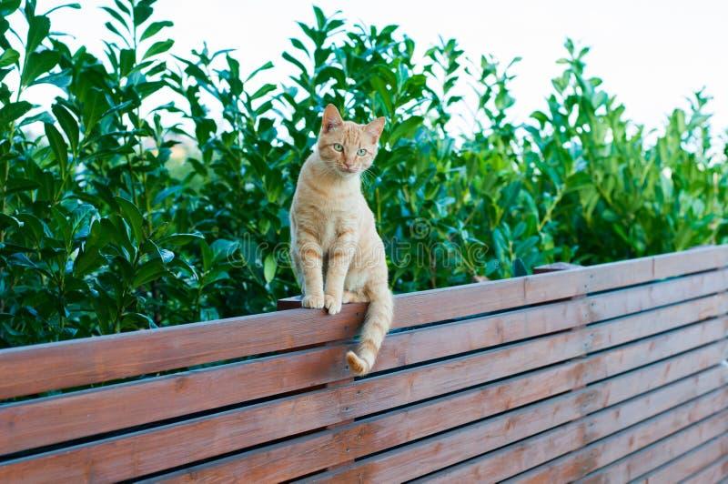 平衡在木篱芭的红发猫 免版税库存图片