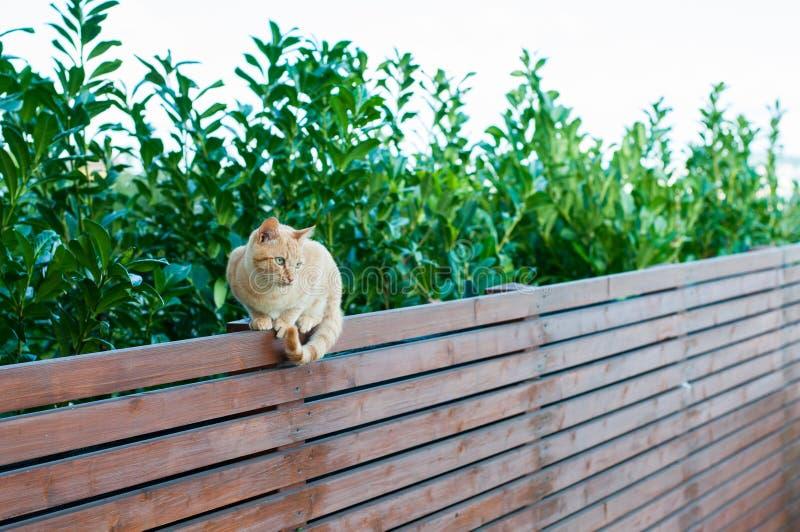 平衡在木篱芭的红发猫 图库摄影