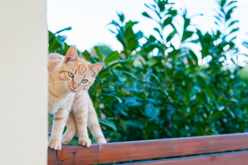 平衡在木篱芭的红发猫 免版税库存照片