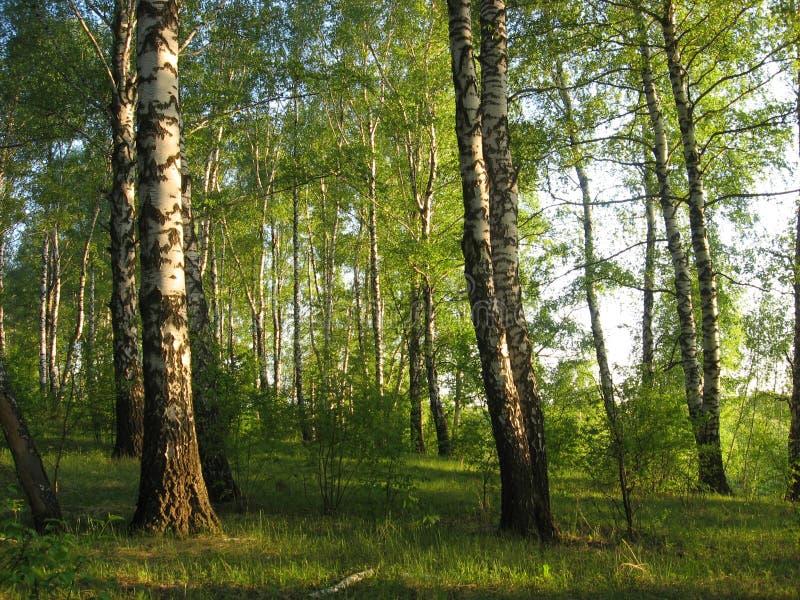 平衡的太阳点燃的桦树 免版税图库摄影