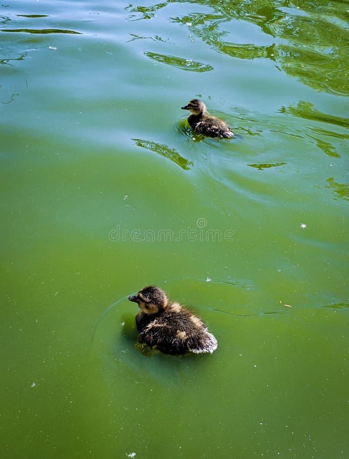 平静地游泳新出生的鸭子 免版税库存照片