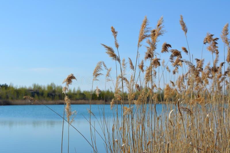 平静的春天风景 镇静蓝色湖通过纸莎草丛林  库存照片