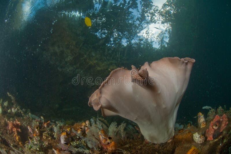 细平面海绵体海绵Ianthella basta,王侯Ampat,印度尼西亚 库存图片