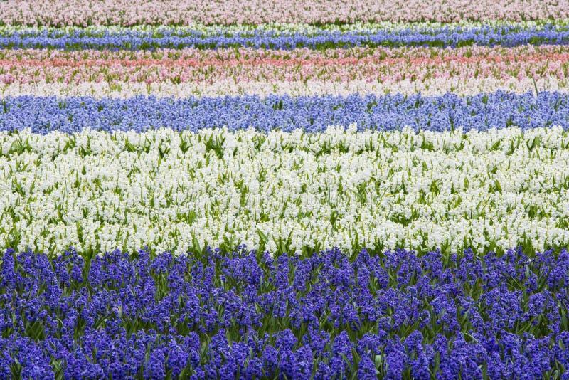 水平紫色和白色风信花的领域 免版税库存图片