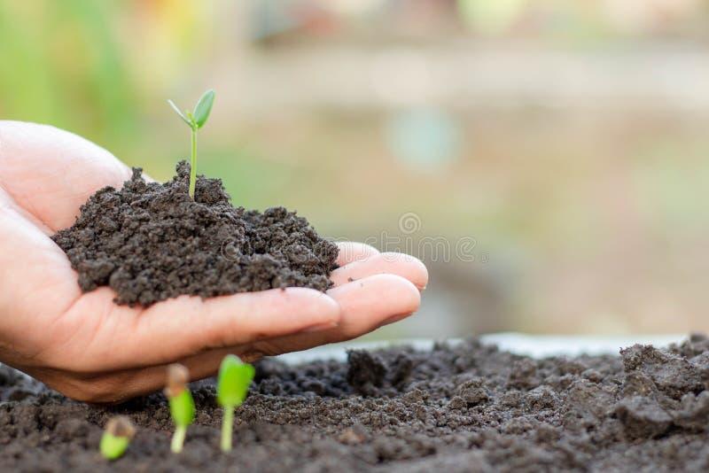 年幼植物在手中 幼木增长 库存照片