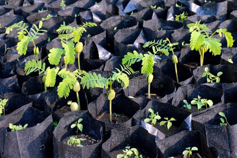 年幼植物罗望子树树苗袋子黑色的,罗望子树选择聚焦的种植园种田 免版税库存图片