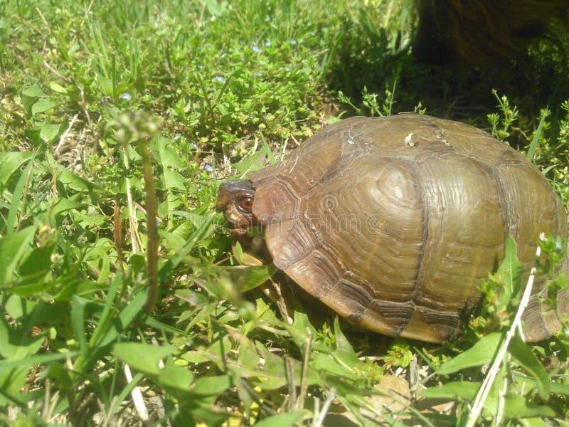 年的第一只乌龟 免版税库存图片