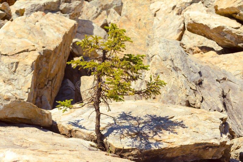 年轻云杉增长在石头之间 库存图片