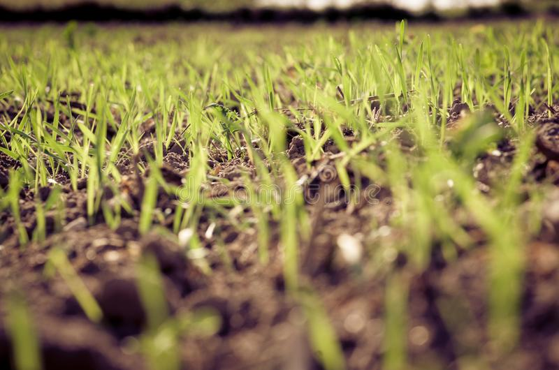年轻五谷植物在领域/五谷植物/领域中 免版税库存图片