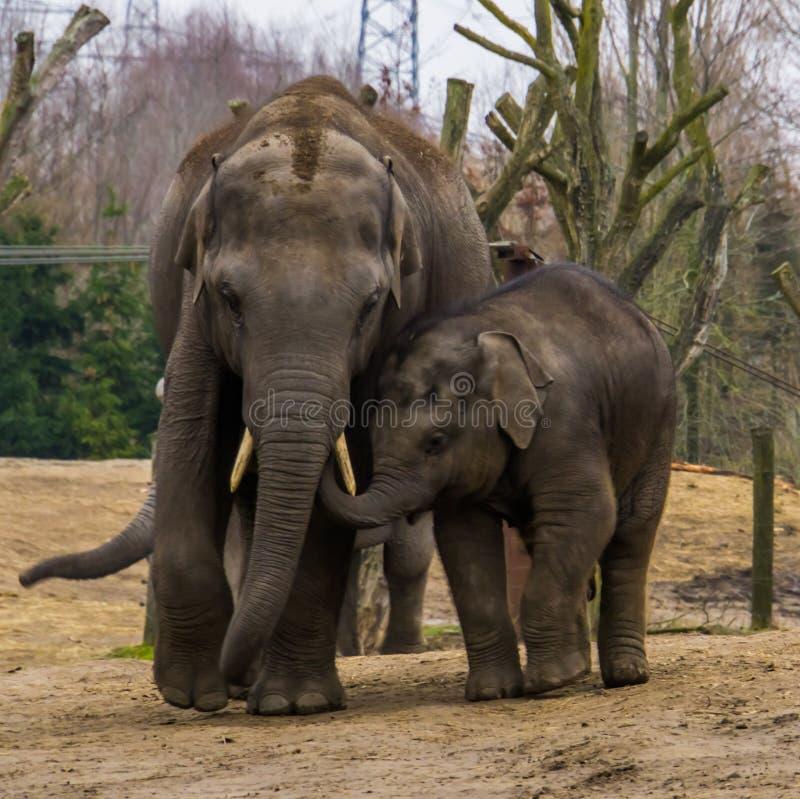 年轻亚洲大象走与它的爸爸的,非常逗人喜爱的家庭画象,从亚洲的危险的动物 库存图片