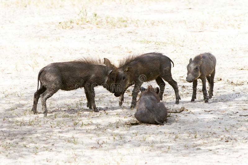 年轻人共同warthog非洲野猪属africanus使用 库存图片