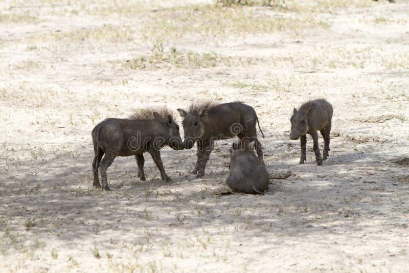 年轻人共同warthog非洲野猪属africanus使用 库存照片