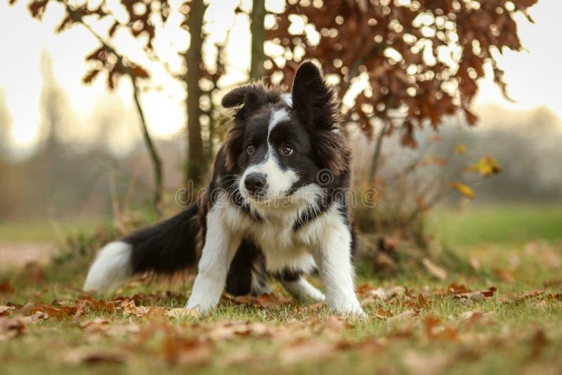年轻人博德牧羊犬害怕的小狗  库存图片