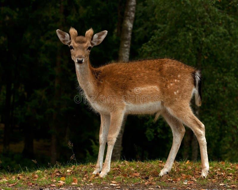 年轻人小鹿1年小鹿,一个男性在一个森林里在瑞典 免版税库存图片