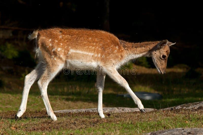 年轻人小鹿1年小鹿,一位女性在一个森林里在瑞典 免版税库存照片