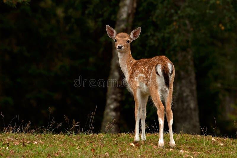 年轻人小鹿1年小鹿,一位女性在一个森林里在瑞典 库存图片