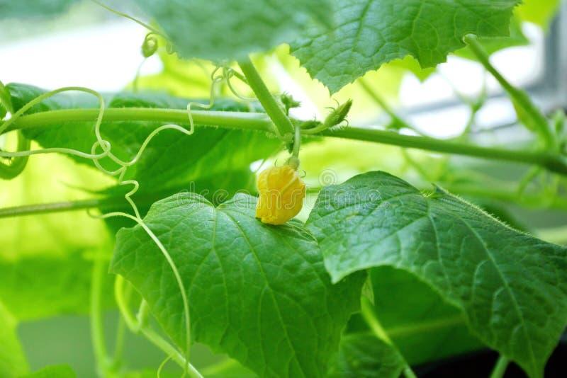 年轻人第一朵黄瓜花 黄瓜叶子自温室图片