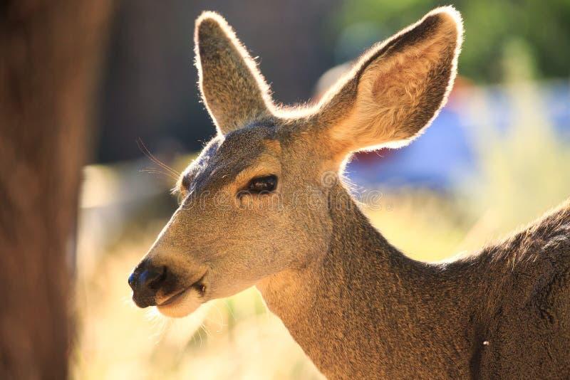 年轻人whitetailed鹿母鹿在森林里吃草 免版税图库摄影