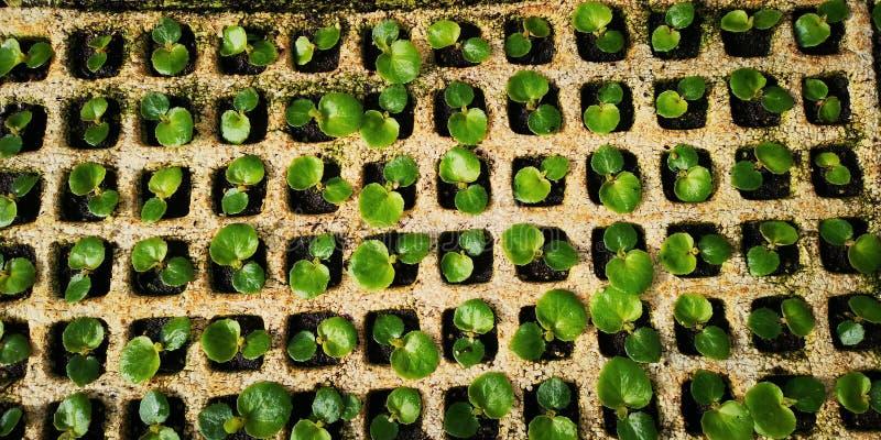 年轻兰花幼木植物的关闭在托儿所 免版税库存图片