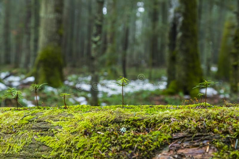 年轻冷杉木 免版税库存图片