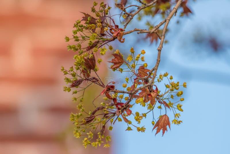年轻出来在春天的糖枫叶和花-天空蔚蓝和砖在背景中 免版税库存照片