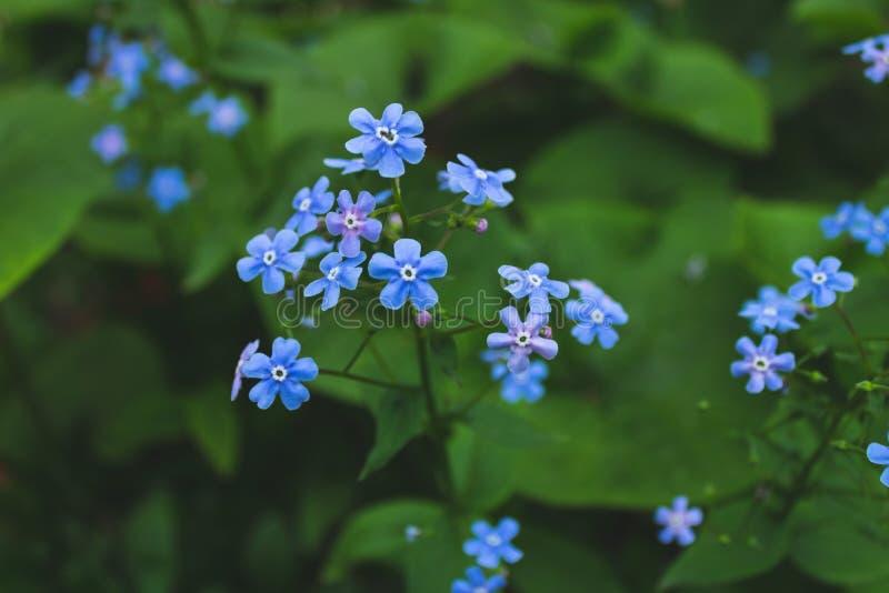 年轻勿忘我草花宏观照片在春天 布鲁纳灌木蓝色 图库摄影