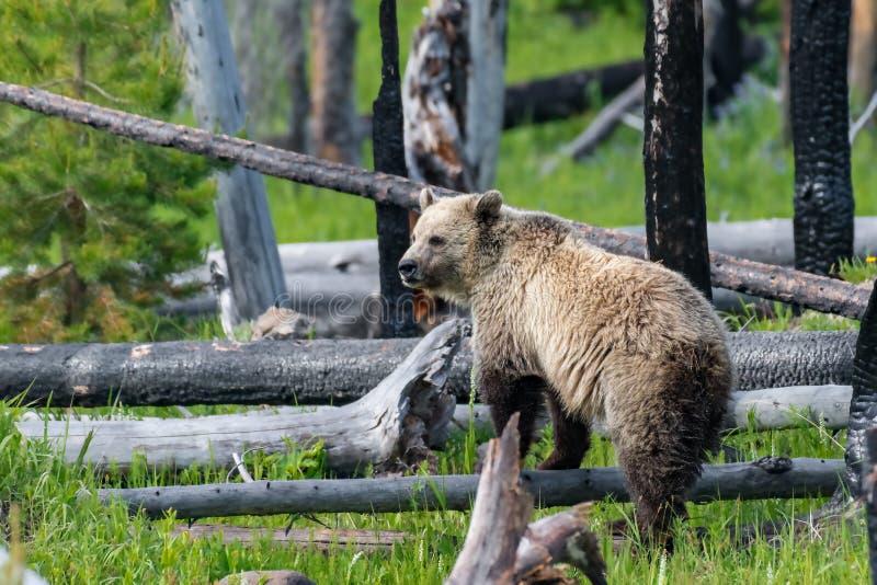 年轻北美灰熊 免版税库存图片