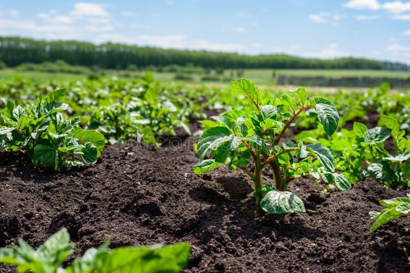 年轻土豆的种植园在与黑土壤的一个领域发芽 免版税图库摄影