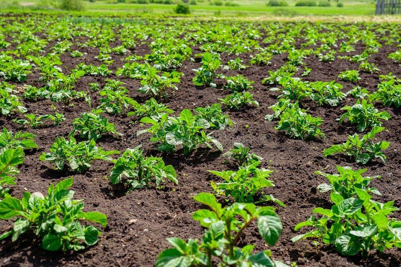 年轻土豆的种植园在与黑土壤的一个领域发芽 免版税库存图片