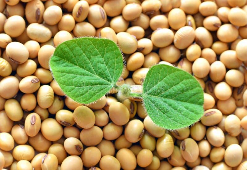 年轻大豆植物,发芽从大豆种子 免版税库存图片