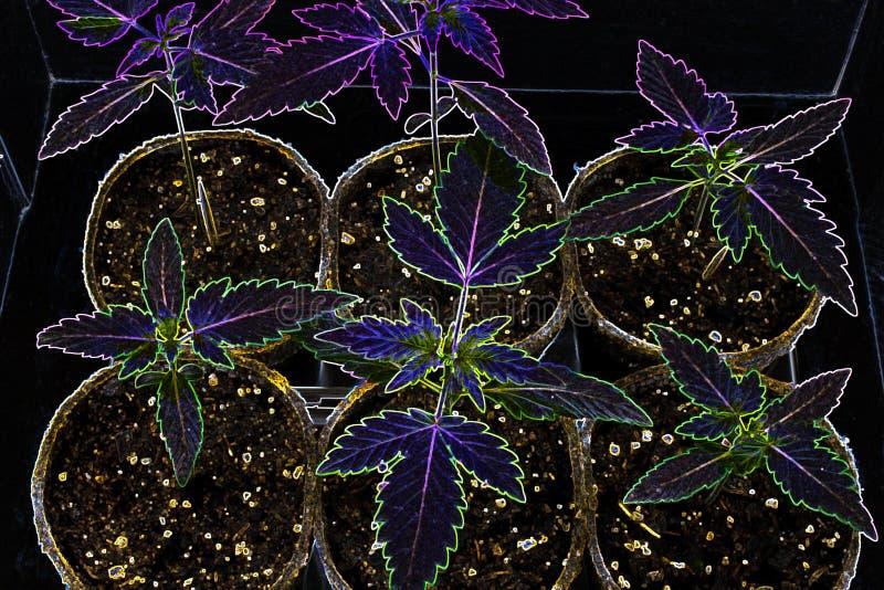 年轻大麻种植-大麻-霓虹颜色 库存图片