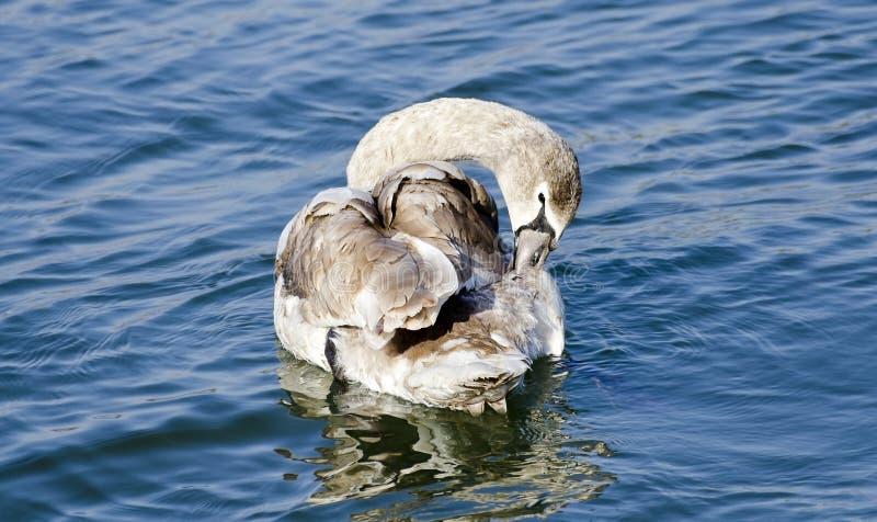 年轻天鹅清洁全身羽毛 库存照片