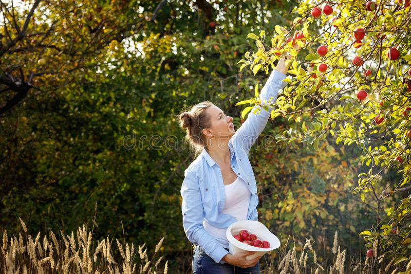 年轻女人在一个晴朗的秋天下午的一个果树园摘苹果 r 免版税图库摄影
