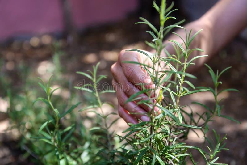 年轻女人在她的菜园里照料迷迭香植物用她的手 图库摄影