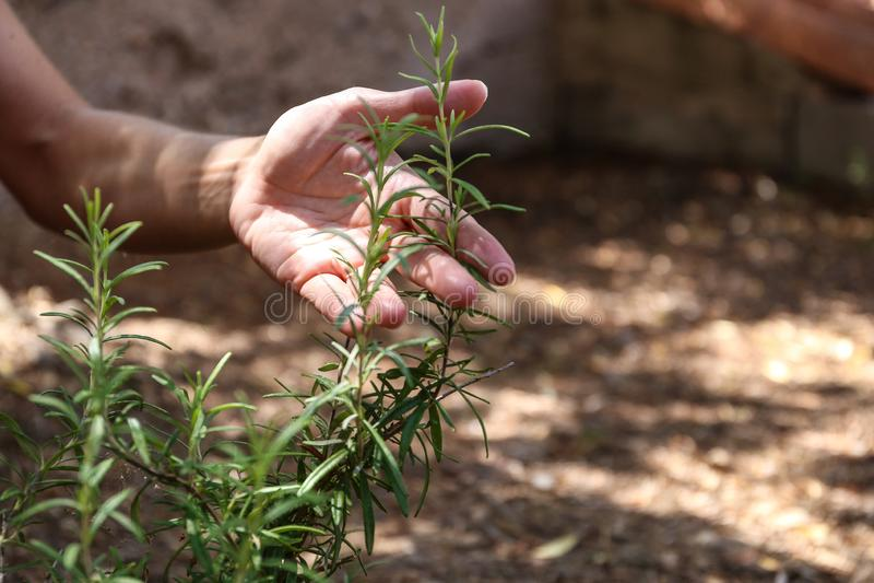 年轻女人在她的菜园里照料迷迭香植物用她的手 库存照片