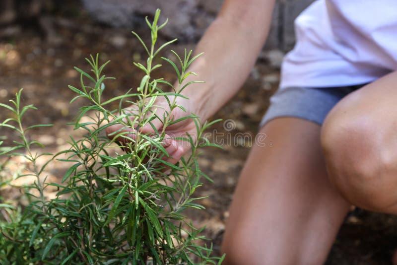 年轻女人在她的菜园里照料迷迭香植物用她的手 免版税库存照片