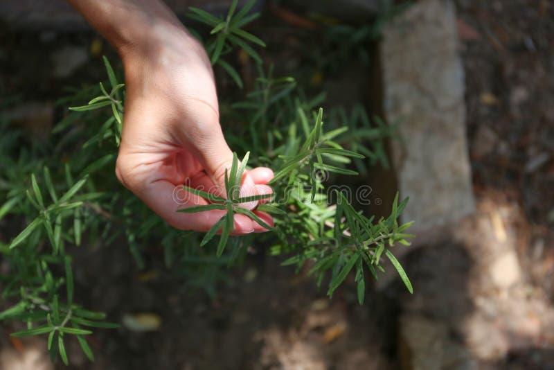 年轻女人在她的菜园里照料迷迭香植物用她的手 库存图片