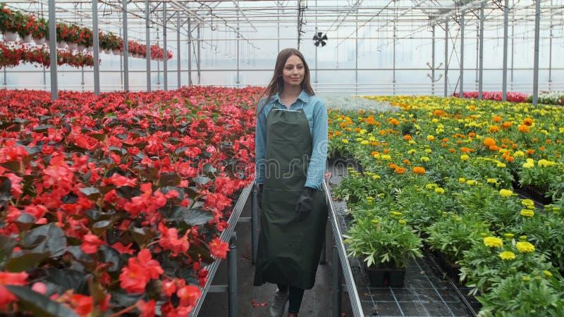 年轻女人在有花的温室检查一个罐在架子的红色一品红 免版税库存照片
