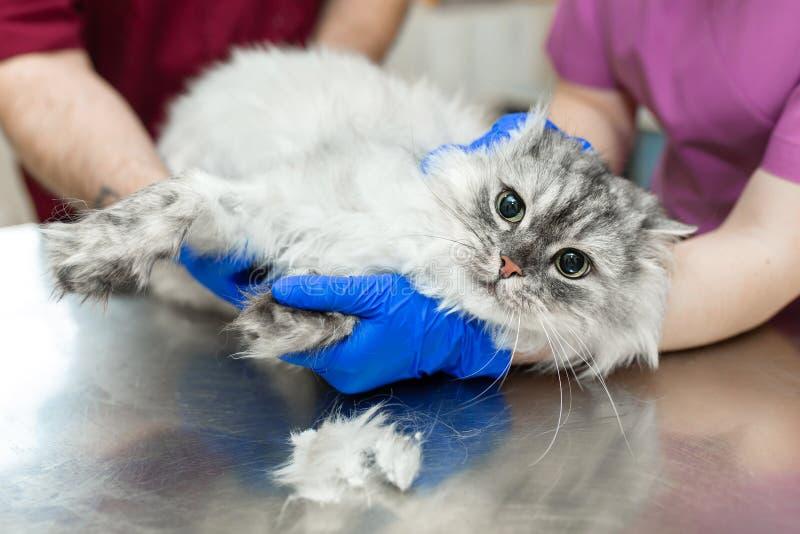 年轻女性麻醉师,兽医,在以前插入导尿管前切开她的有打字机的爪子入猫 免版税库存图片
