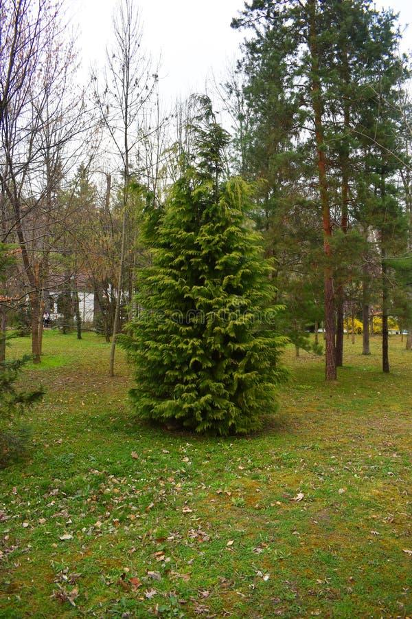 年轻孤零零松树在新鲜的绿色森林里 免版税库存照片