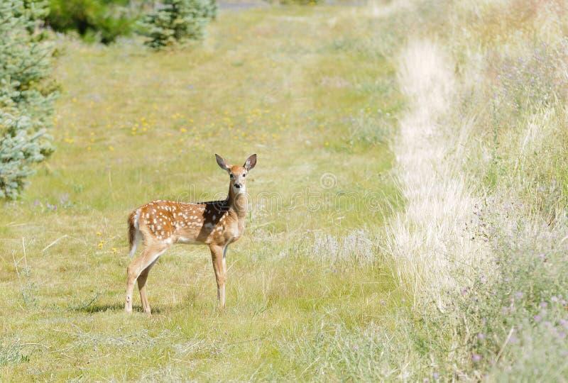 年轻小鹿白尾鹿Odocoilus virginianus 库存图片