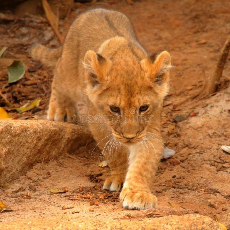 年轻幼狮偷偷靠近 库存图片