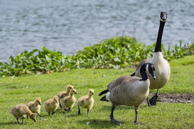 年轻幼鹅为与妈咪和爸爸的步行 免版税库存照片
