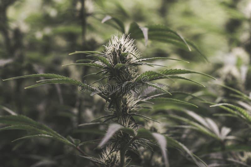 年轻开花的医疗大麻植物 库存图片