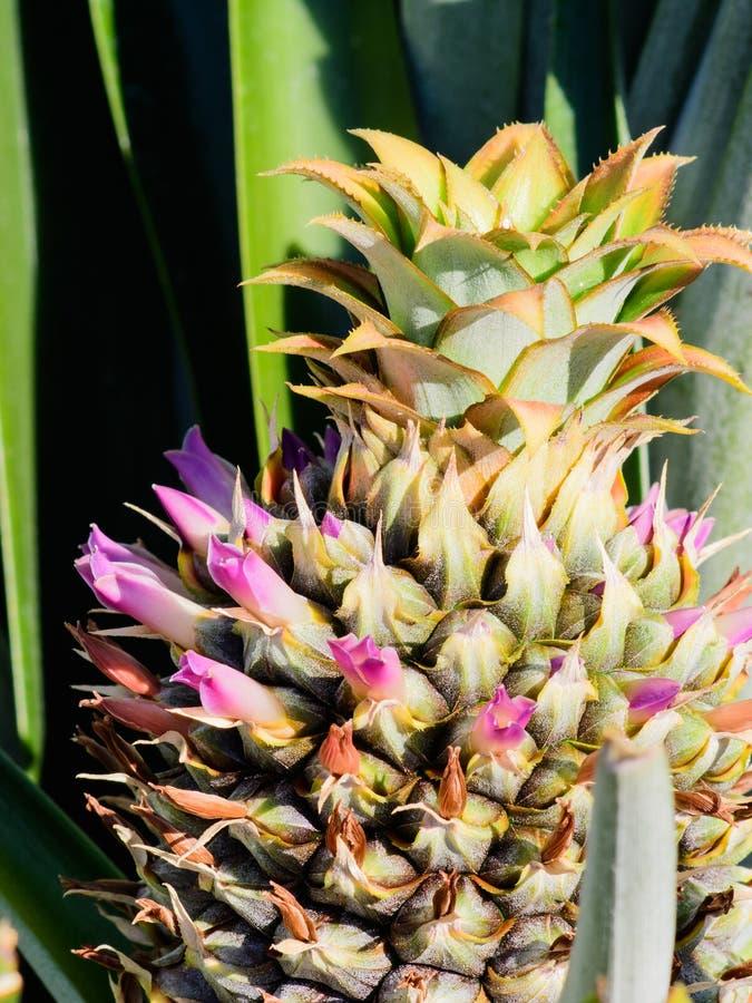 年轻开花的菠萝 免版税库存照片