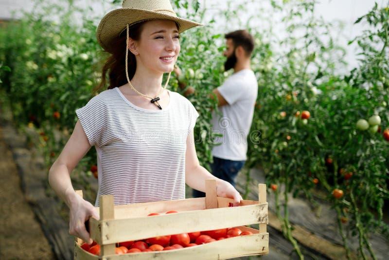 年轻微笑的农业女工工作,收获蕃茄自温室 图库摄影